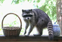 Guilty as Charged! (Peggy Collins) Tags: canada cute animal mammal funny basket britishcolumbia stare pacificno