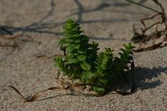 merihumur Honckenya peploides Seaside Sandplant (Mercar) Tags: seaside peploides honckenya sandplant merihumur