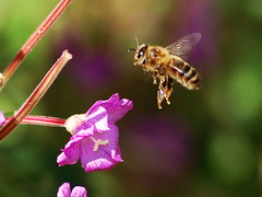 Honey bee in flight ([Duncan]) Tags: pink summer flower macro closeup insect inflight purple bokeh flight bee honeybee willowherb flyinginsect beautifulmonsters