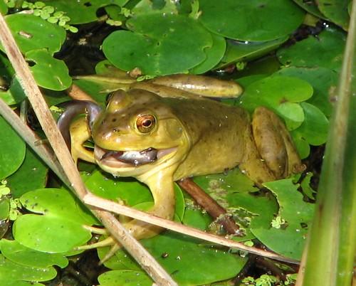 Bullfrog diet feeding