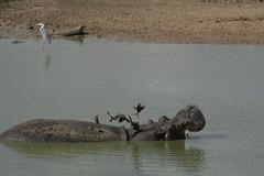 Hippopotamus with Red-billed Oxpeckers- Mikumi National Park, Tanzania
