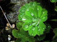 Transpiration / guttation (nz_willowherb) Tags: scotland leaf killin guttation alchemillamollis ladysmantle transpiration