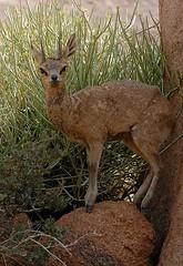 Klipspringer, Koiimassus, Namibia