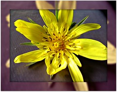 Yellow beauty (CameliaTWU) Tags: inflorescence rayflowers discflowers yellowflowers asteraceae romania flora transylvania margau dicot angiosperm flickrdiamond