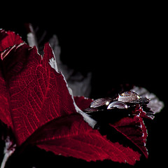 After The Rain (Osgoldcross Photography) Tags: wood red stilllife black water photoshop reflections droplets leaf interestingness nikon branch bokeh flash explore acer veins tamron70300mm offcameraflash explored strobist tabletopphotography strobism photoshopcs4 nikond5000