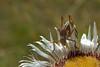 "Grillo su ""Carlina acaulis"" (paolo-55) Tags: natura grillo campofelice carlinaacaulis abigfave 105mmvrmicronikkor macromarvels nikond700"