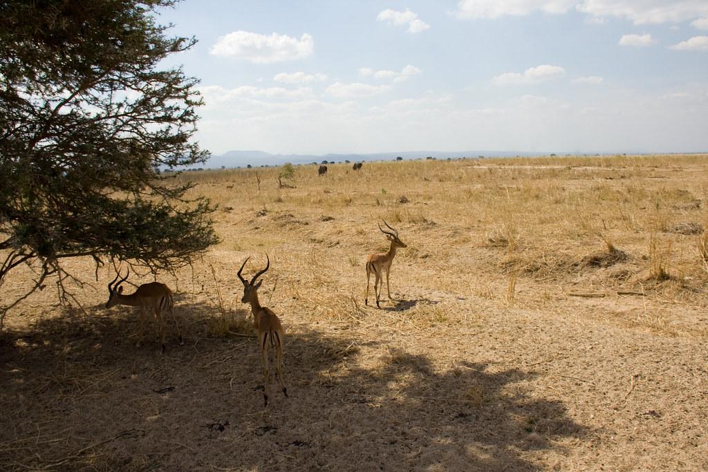 Male Impalas - Mikumi National Park, Tanzania