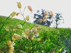 Bells (dbnunley) Tags: morning flower virginia august finepix wildflowers blueridgeparkway hs10 nikcolorefexpro topazdetail meadowsandfields