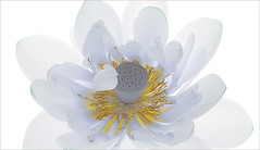 White Lotus Flower on-white - IMG_6865 (Bahman Farzad) Tags: white flower macro yoga peace lotus relaxing peaceful meditation therapy lotusflower lotuspetal lotuspetals lotusflowerpetals lotusflowerpetal