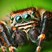 Male Jumping spider - Evarcha arcuata (Set of pictures)