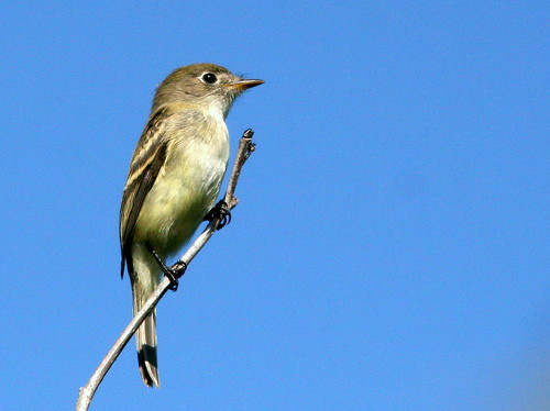 Least Flycatcher 20100827