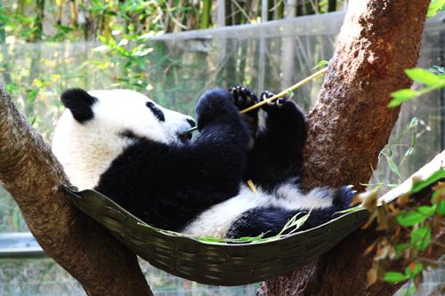 Yun-Zi *Baby Panda*