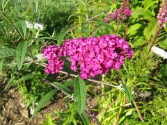 Buddleia davidii 'Royal Red' Butterfly Bush (KingsbraeGarden) Tags: butterflybush buddleiadavidii royalred