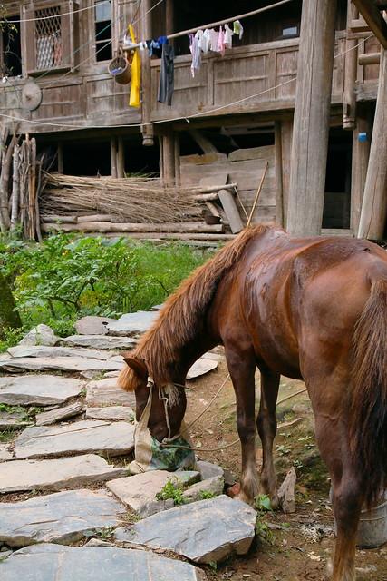 A horse eating, Guangxi, China