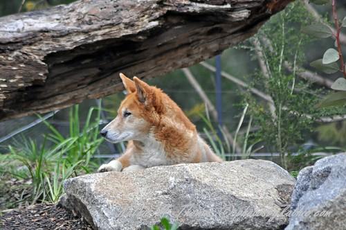 Dingo on alert