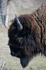 Portrait of a Bison (idashum) Tags: portrait nature animal fur mammal nationalpark buffalo eyes nikon details yellowstonenationalpark wildanimal horn sideview bison ida shum grandtetonnationalpark buffaloroam idashum