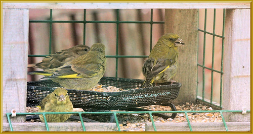 Greenfinch Family
