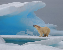 Polar Bear just outside of Resolute Bay, Nunavut. (Ballygrant Boy) Tags: blue canada ice nikon arctic polarbear inuit iceberg nunavut nanuk osopolar resolutebay supershot d80 specanimal abigfave 70300vr theunforgettablepictures