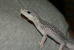 Roley (Urban-Mermaid) Tags: enigma leopardgecko supersnow