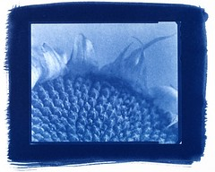 sunflower2 (akki14) Tags: macro closeup sunflower 4x5 mpp cyanotype 5x4 altprocess