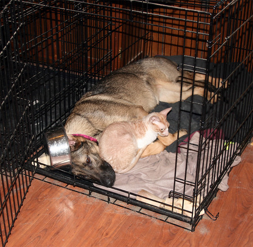 Silly Zille, a sable Shedder, lies flat on her side in Beowulf's ginormous crate.  She is wearing his foodbowl like a top hat.  Roo is cuddle up against her neck and chest, laying over one of her forelegs to hold her down.  You thought I was kidding about the hat thing, didn't you.