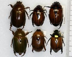 Scarabaeidae (NHM Beetles and Bugs) Tags: ecuador beetle beetles scarab scarabaeidae scarabs neotropical neotropic