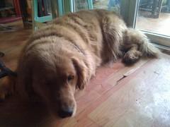 """姥姥家的金毛犬""""金花"""",估计是好赌的舅舅取的名。脾气好,活泼;聪明:能听懂四川话的坐下、出去、躺倒,会开阳台的推拉门;而且记忆力超好——陌生人进家它会又叫又咬,对我却很亲。上次见到它已经是两年半之前了。"""