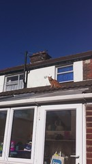 Up on the roof (Mrs eNil) Tags: cat ginger kitten kitty molly flap microchip gingercat iphone upontheroof catdoor catflap orangekitty lauraohalloran microchipcatflap flapofdoom