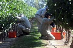 Recolección de la uva, fruto de un año de trabajo de los viñateros