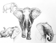 Elephant Sketches (Marcos Telias) Tags: illustration drawing dibujo ilustración sketch boceto bosquejo arte artista artist ballpoint bolígrafo pen lápiz fantasy