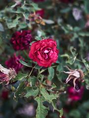 rAVAGED bEAUTY (wNG555) Tags: 2017 arizona phoenix flora bokeh rose olympusfzuikoautos38mmf18 fav25