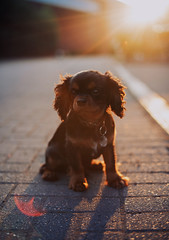 Giles (Mark Liddell) Tags: giles cavalier king charlies spaniel puppy pupper black tan blackandtan fur coat flat face cute bokeh outdoors sunset ears paws glasgow scotland muzzle snout funny dog pet pedigree animal round eyes collar tag lens flare backlit stone pavement driveway