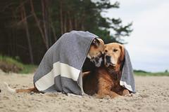 7/12 Edgar & Albert sharing a tender little moment (Jutta Bauer) Tags: 12monthsfordogs 12monthsforedgarandalbert 712 edgaralbert dogs friends friendship together beach summer love blanket