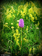 """  My Wild Beauty "" ("" P@tH Im@ges "") Tags: orchid wild rare bedstraw ladies elizabeth 1st beautiful roll grass mattress stuffing rumour"