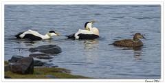 Le temps des amours chez les Eiders ! (C. OTTIE et J-Y KERMORVANT) Tags: nature oiseaux eiders eidersàduvet fjordsdelouest fjords islande