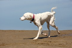 a salty sea dog (peet-astn) Tags: salty sea dog beach wales dinasdinlle water droplets