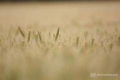 wheat (photos4dreams) Tags: gersprenz03072017p4d gersprenz münster hessen germany naturschutz nabu naturschutzgebiet photos4dreams p4d photos4dreamz nature river bach flus naherholung