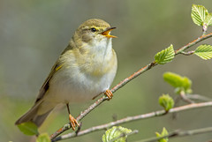 DSC4451 Willow Warbler.. (jefflack Wildlife&Nature) Tags: willowwarbler warbler warblers birds avian animal wildlife wildbirds wetlands woodlands songbirds summermigrant countryside nature hedgerows