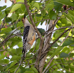 Red-bellied Woodpecker in Mulberry Tree (Carolyn Lehrke) Tags: woodpecker mulberry nature woods ronceverte wv nikond3200 outdoors birds redbelliedwoodpecker rural tree berries mulberries summer easternusa desert proteineater leaves
