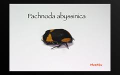 Pachnoda abyssinica (Mashku) Tags: insects beetles coleoptera scarabeidae pachnoda cetoniidae cetoniini cetoniine