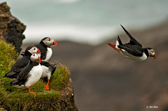 Puffin (Toi-Vido) Tags: light sea mountain color bird nature water rock landscape outdoors island iceland nikon puffin vestmannaeyjar sland sjr nttra heimaey toi eyjar seawater vido outofdoors landslag litir specnature blt d5000 nikond5000 ti vd toivido tivd