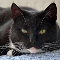 May I introduce again: It is me Cortez and it is my birthday today. She almost forgot it. (Cajaflez) Tags: birthday pet cute cat kat chat verjaardag tuxedo katze cortez gatto huisdier gatti kater tomcat 10jaar 10years cc100 kissablekat bestofcats catmoments boc0610
