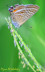butterfly (mzna al.khaled) Tags: macro green beautiful butterfly insects natrue طبيعة ماكرو حشرات
