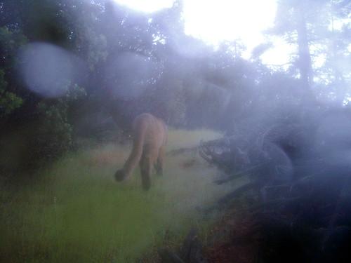 condensation cougar