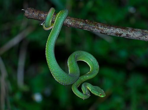 ... Green bamboo viper - 赤尾青竹絲 ...