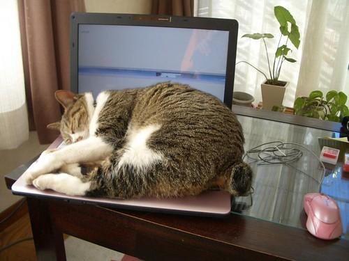 光看就想睡的貓特集1
