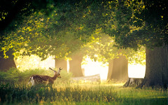 bliss (andrew evans.) Tags: lighting morning trees light summer england sun mist nature misty fog fairytale forest sunrise landscape countryside kent woods nikon bokeh wildlife deer ethereal rays sunrays wonderland storybook magical 70200 f28 enchanted d3