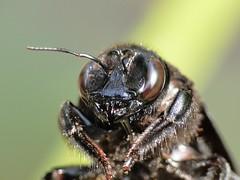 Estou olhando vc!! (Samuel K.2008) Tags: macro insects bugs insetos mamangava