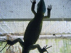 Mi Lagarto duerme asi...por TeresalaLoba (TeresalaLoba) Tags: spain galicia gondomar biodiversity biodiversidad lacertaschreiberi lagartoverdinegro peitieiros especieamenazada teresalaloba lagartodassilvas reinodegondor schreibermuskerra