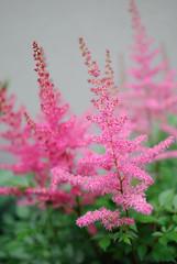 astilbe (Sally E J Hunter) Tags: pink flowers toronto garden astilbe meadowsweet moo1 35mmf18 falsespiraea falsegoatsbeard